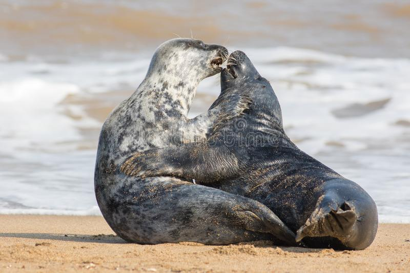 Animals in love. Seal lovers having sex on the beach royalty free stock photos