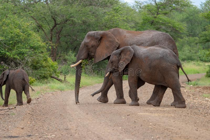 African elephant mamal animals in the national park kruger south africa stock photography