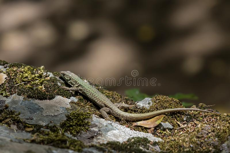 Erhard`s Wall Lizard Podarcis erhardii naxensis sitting on a stones close-up in a sunny day. Animals. A nimble Erhard`s Wall Lizard Podarcis erhardii naxensis royalty free stock photo