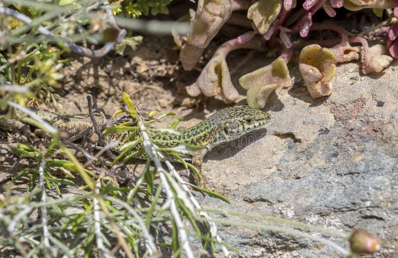 Erhard`s Wall Lizard Podarcis erhardii naxensis sitting on a stones close-up in a sunny day. Animals. A nimble Erhard`s Wall Lizard Podarcis erhardii naxensis stock photos