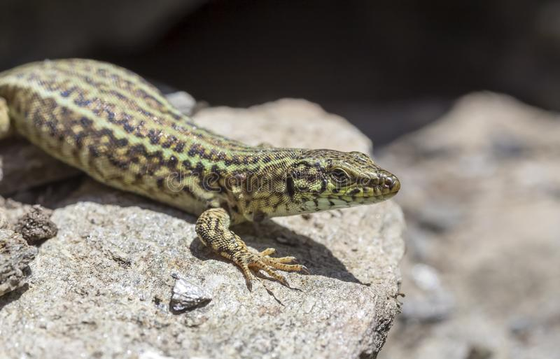 Erhard`s Wall Lizard Podarcis erhardii naxensis sitting on a stones close-up in a sunny day. Animals. A nimble Erhard`s Wall Lizard Podarcis erhardii naxensis royalty free stock photography