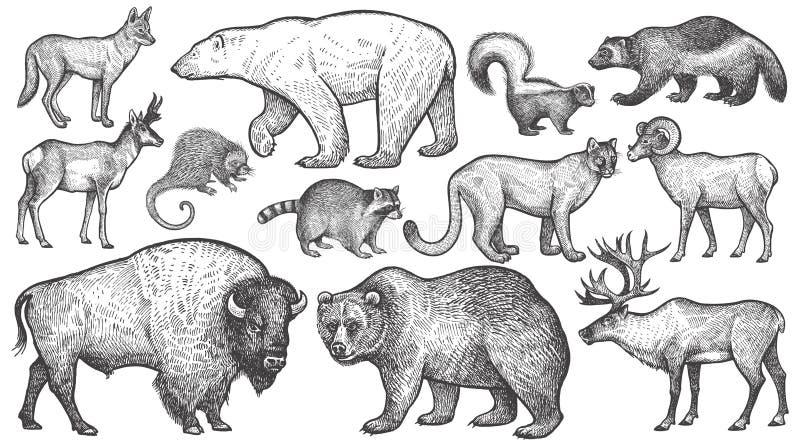 Animals of North America big set. Wild animals of North America big set. Vector illustration art. Vintage engraving style. Isolated on white background royalty free illustration