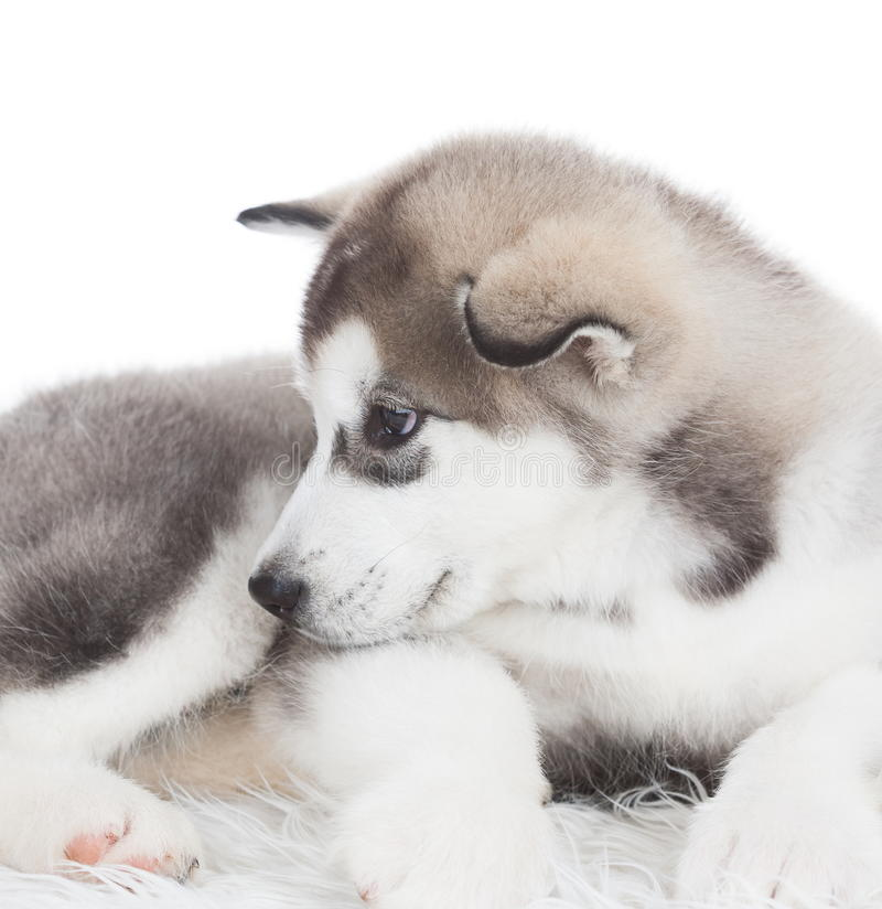 Animals. One puppy Husky white isolated! royalty free stock photos
