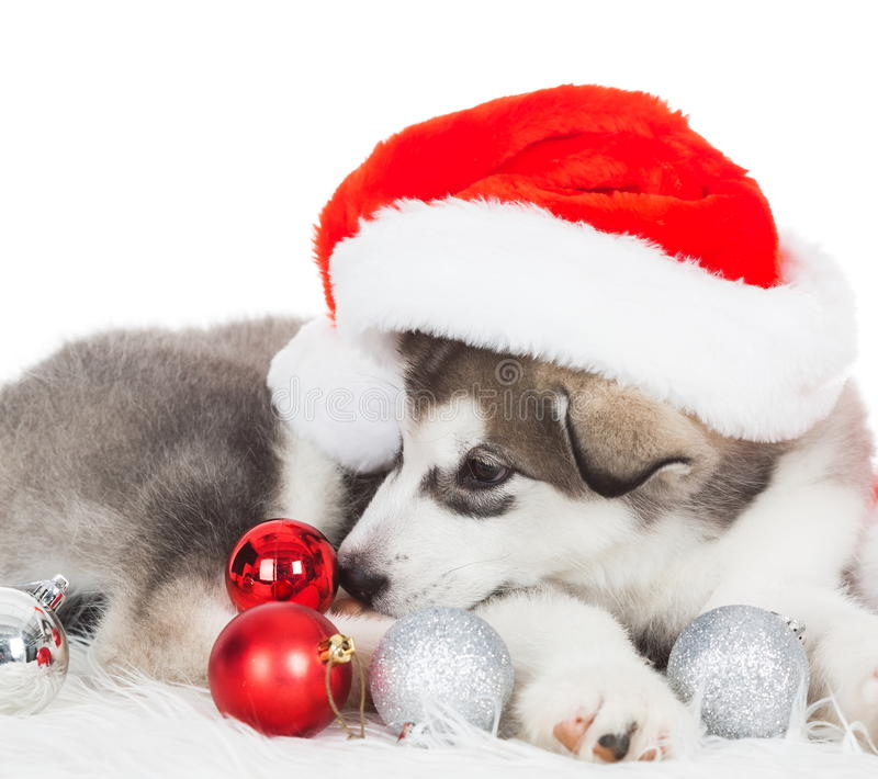 Animals. One puppy Husky white isolated, Christmas hat, tree toy royalty free stock images