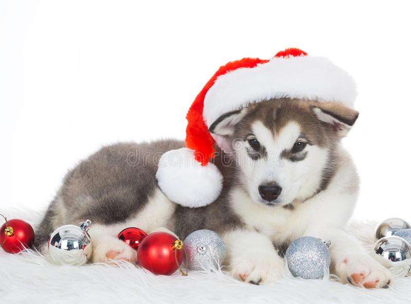 Animals. One puppy Husky white isolated, Christmas hat, tree toy stock images