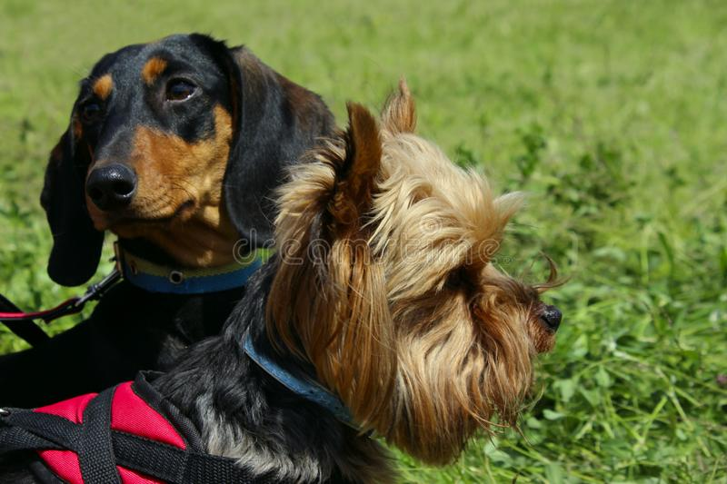 Yorkshire Terrier And Black Dachshund Over Green Grass Background.Dogs. Animals,Pets,Dogs Concept.Dogs Outdoors,Cropped Shot.Yorkshire Terrier And Black stock photos
