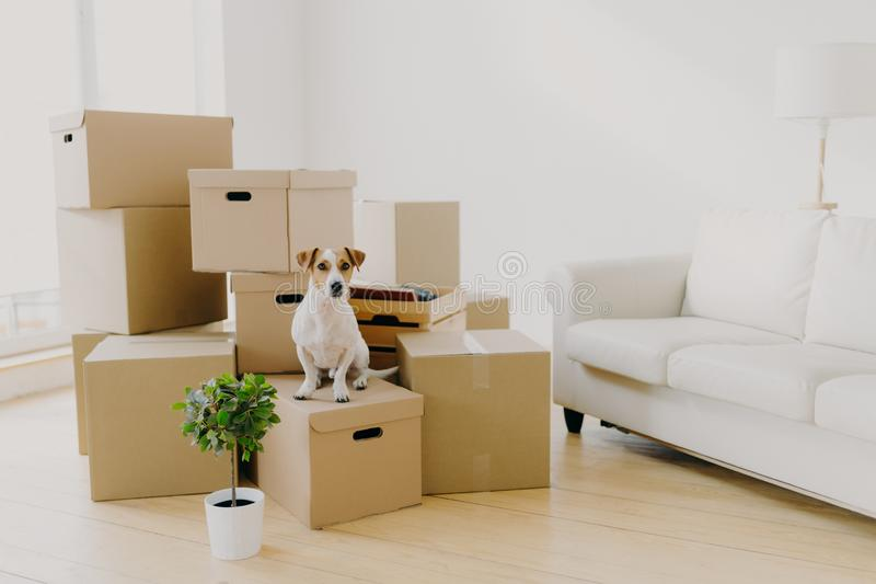 Animals, relocation and moving concept. Small pedigree dog poses on pile of carton boxes with personal hosts belongings, changes royalty free stock image