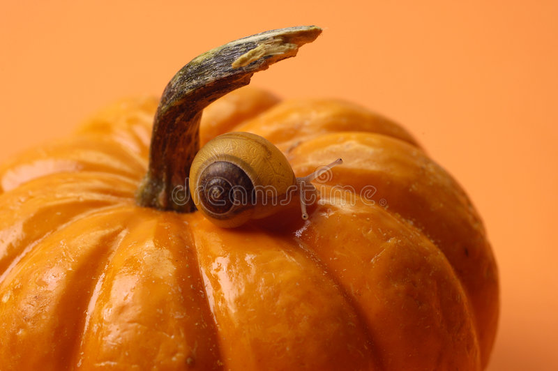Animals - Snail on Pumpkin stock photos