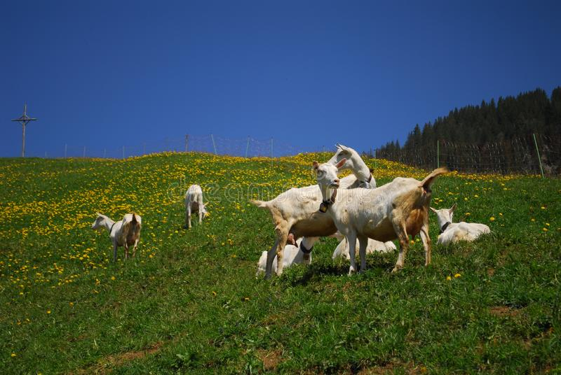 Animals in Switzerland during spring stock photography
