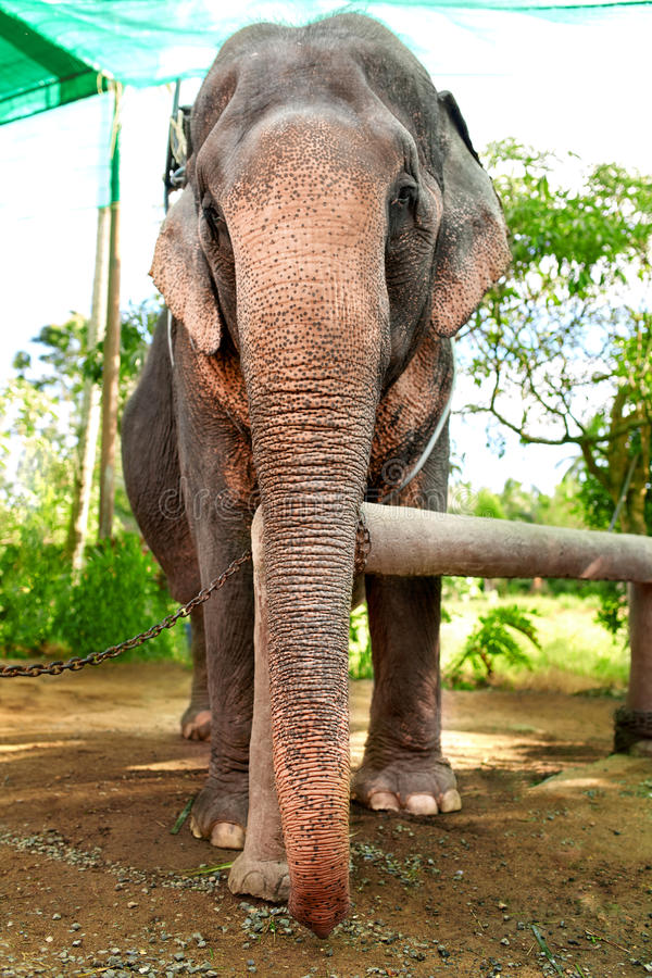 Animals In Thailand. Thai Elephant With Rider Saddle. Travel Asia. Animals In Thailand. Thai Elephant With Rider Saddle In Elephant Camp. Travel Asia, Tourism stock images