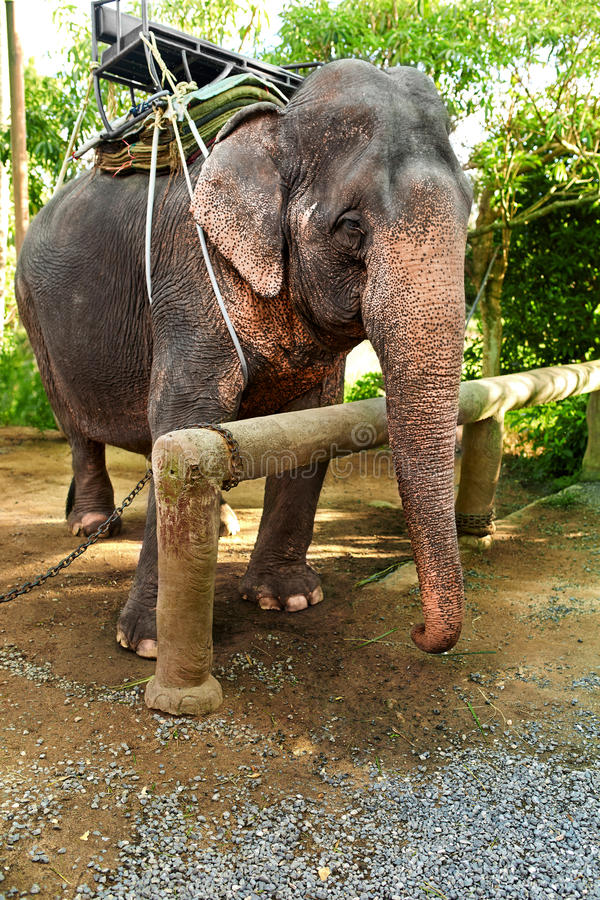 Animals In Thailand. Thai Elephant With Rider Saddle. Travel Asia. Animals In Thailand. Thai Elephant With Rider Saddle In Elephant Camp. Travel Asia, Tourism royalty free stock image