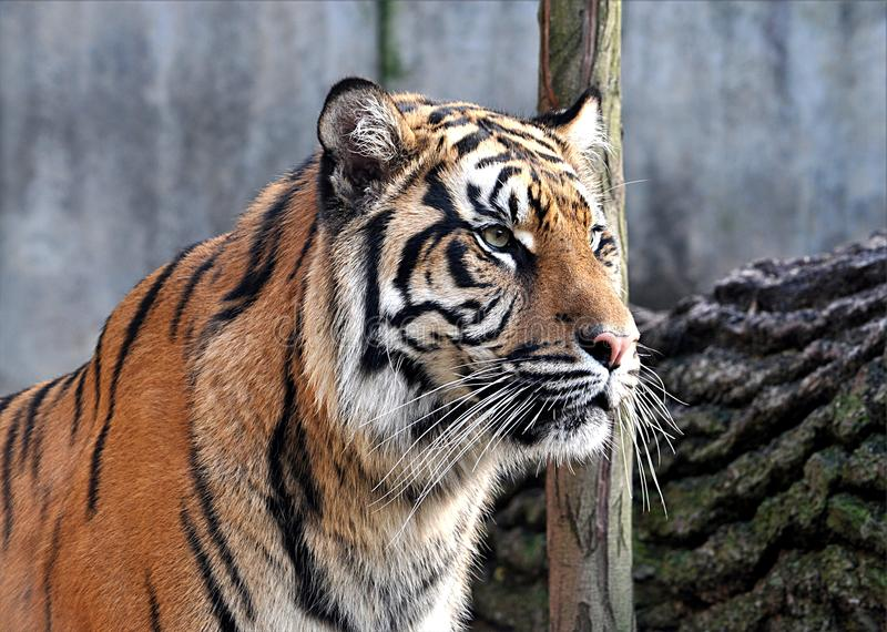 Animals - Tiger royalty free stock photos