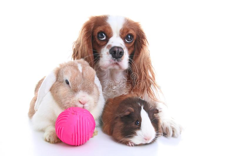 Animals together. Real pet friends. Rabbit dog guinea pig animal friendship. Pets loves each other. Cute lovely cavalier king char. Les spaniel puppy cavy lop stock images