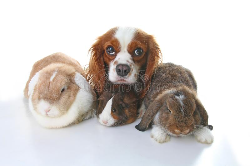 Animals together. Real pet friends. Rabbit dog guinea pig animal friendship. Pets loves each other. Cute lovely cavalier king char. Les spaniel puppy cavy lop royalty free stock images