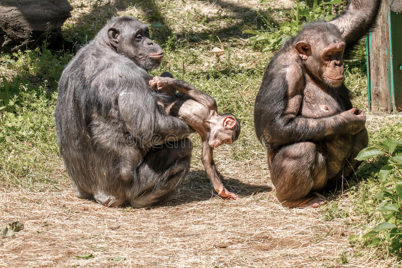 Animals two females and a baby chimpanzee. Image animals two females and a baby chimpanzee royalty free stock image