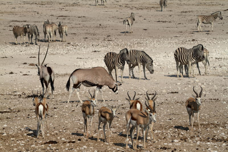 Animals at a waterhole in Etosha Park in Namibia royalty free stock photography