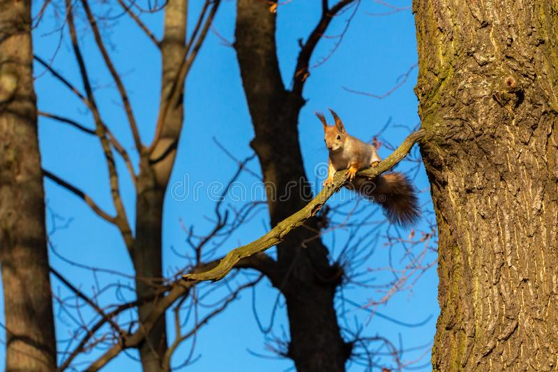 Animals in the wild. squirrel on a tree branch against a blue sky. Squirrel on a tree branch against a blue sky. animals in the wild royalty free stock image