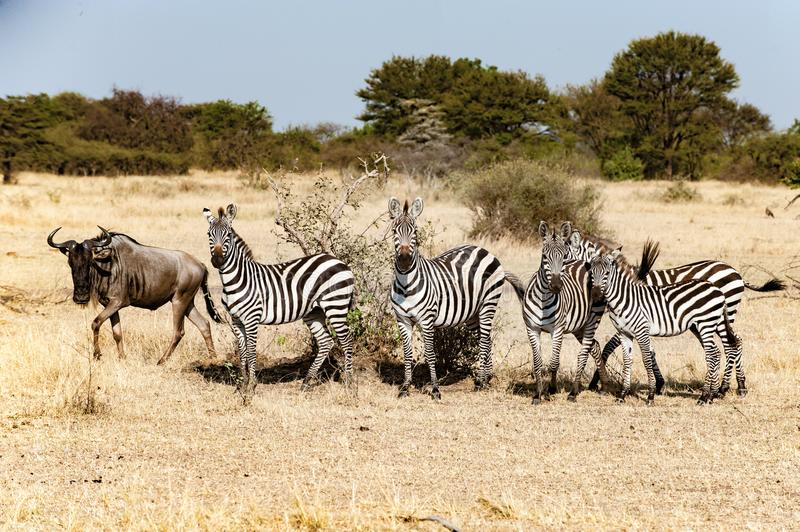 Zebras with one wildebeest at great migration time in Serengeti, Africa, hundrets of wildebeests together stock photo