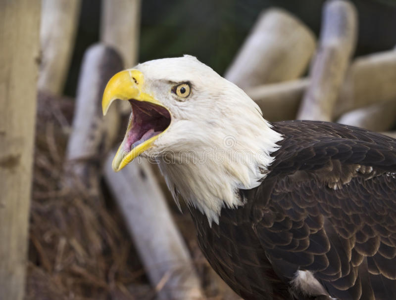 Animated Bald Eagle at Palm Beach Zoo and Conservation Society royalty free stock photos
