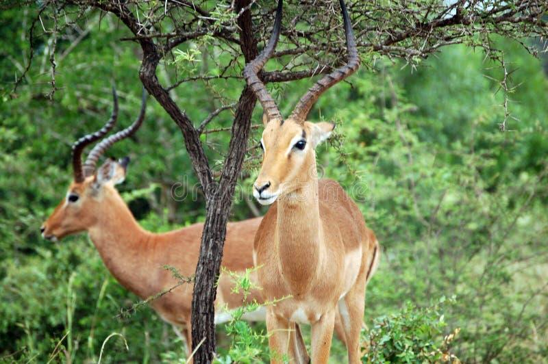 Animaux africains maman et papa dans le buisson image libre de droits