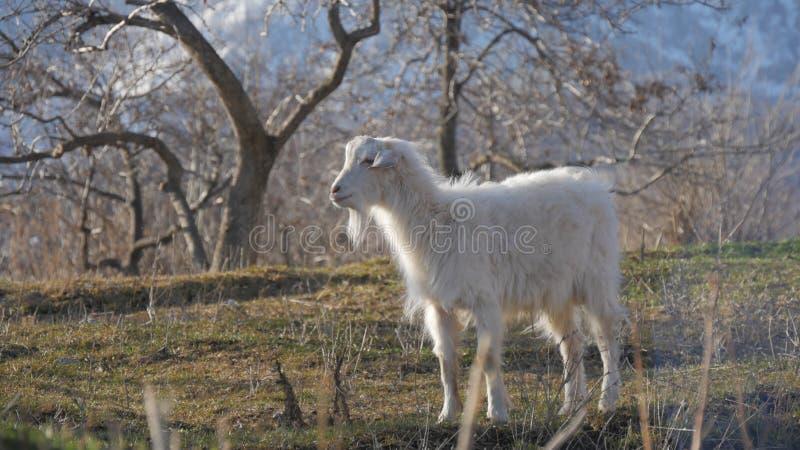 Animaux dans le zoo, chèvres photos libres de droits