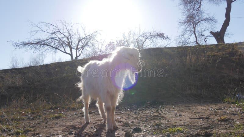Animaux dans le zoo, chèvres photos stock