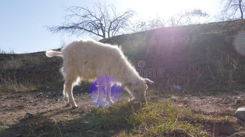 Animaux dans le zoo, chèvres photo libre de droits