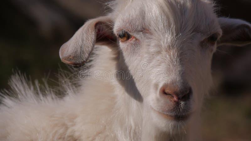 Animaux dans le zoo, chèvres photographie stock