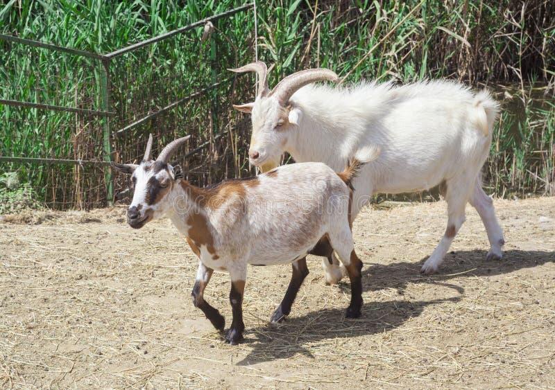 Animaux de chèvre dans la ferme photo libre de droits