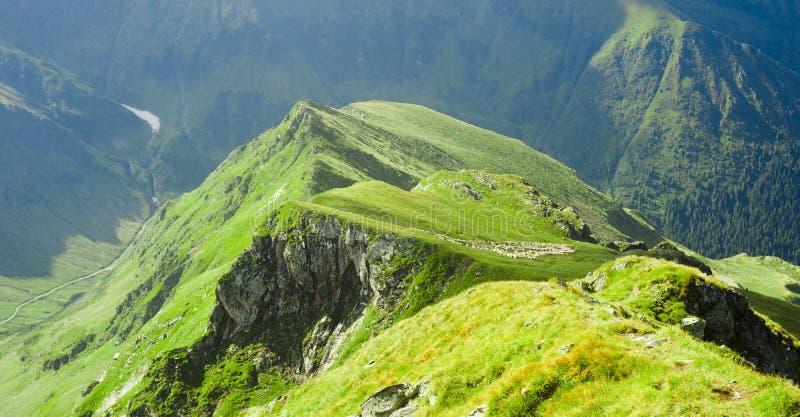 Animaux de crête et de moutons de montagne de Fagaras photos stock