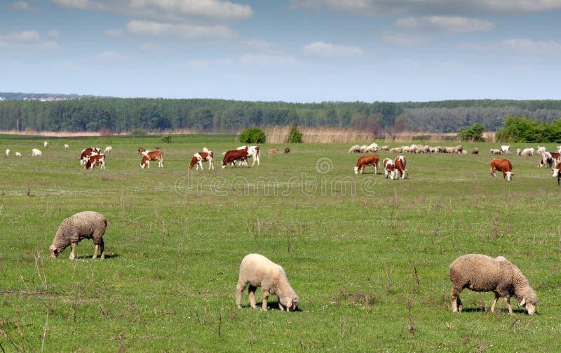 Animaux de ferme dans le pâturage photos libres de droits