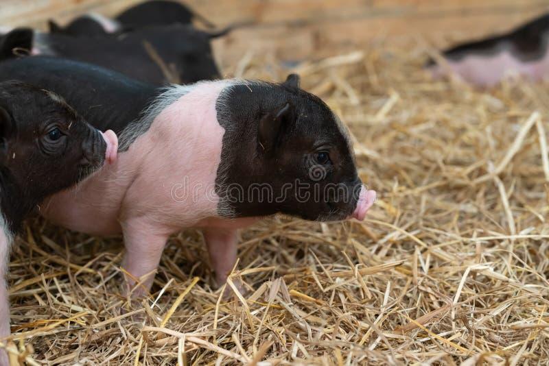 Animaux de ferme : Le porcelet repéré drôle, bébé mignon Pot-s'est gonflé des porcs dans une ferme images stock
