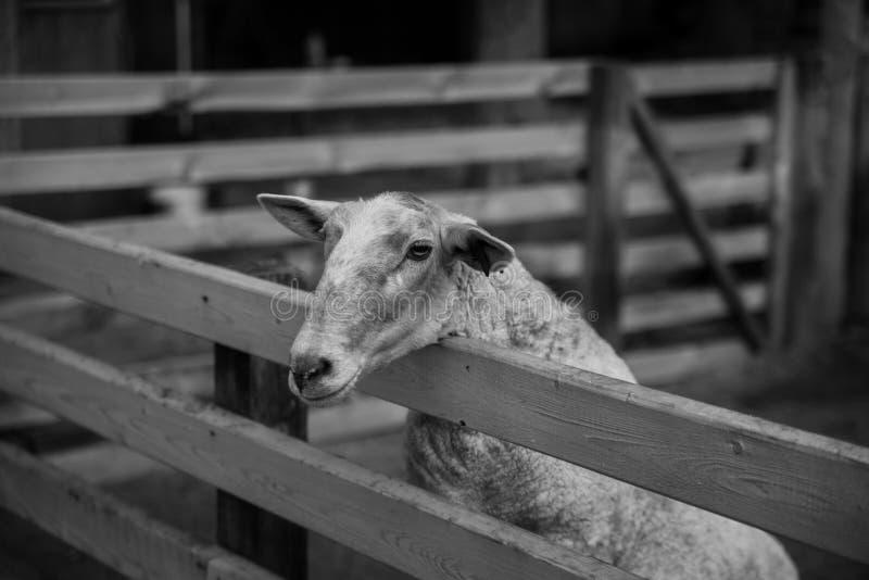 Animaux de ferme, moutons ? la ferme photos libres de droits