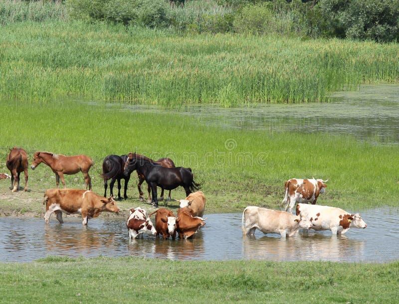 Animaux de ferme sur le fleuve photographie stock libre de droits