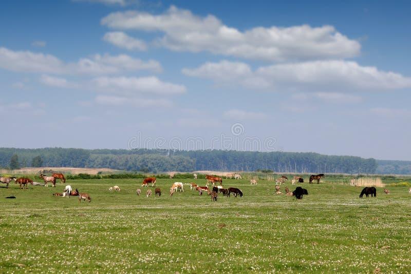 Animaux de ferme sur le pâturage photographie stock libre de droits