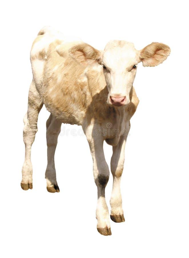 Animaux de ferme - vache à veau d'isolement sur le fond blanc images libres de droits