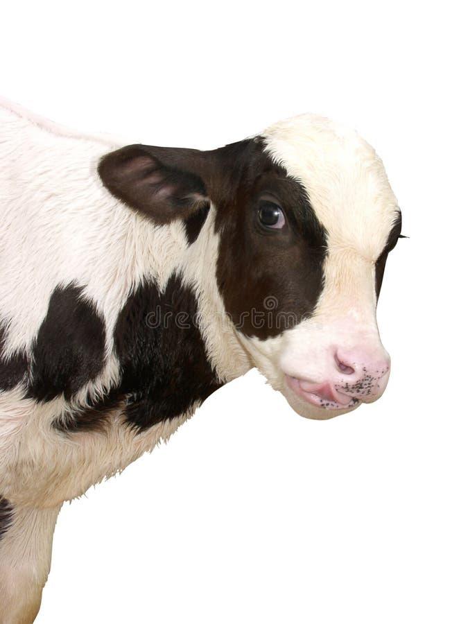 Animaux de ferme - vache à veau d'isolement sur le fond blanc images stock