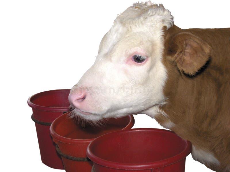 Animaux de ferme - vache à veau d'isolement sur le fond blanc photographie stock libre de droits
