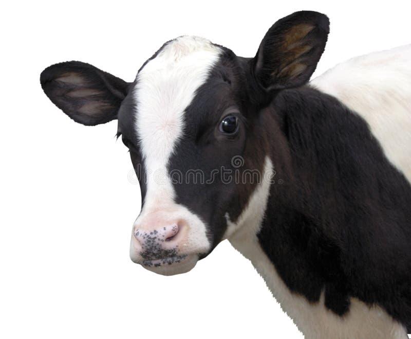 Animaux de ferme - vache à veau d'isolement sur le fond blanc photo stock