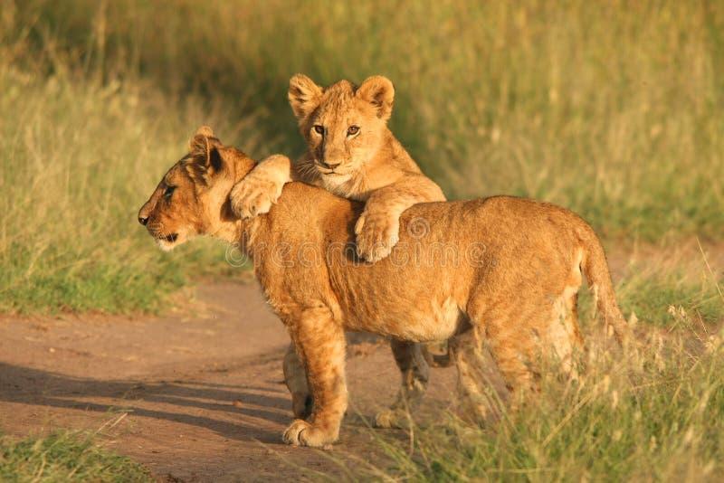 Animaux de lion image stock