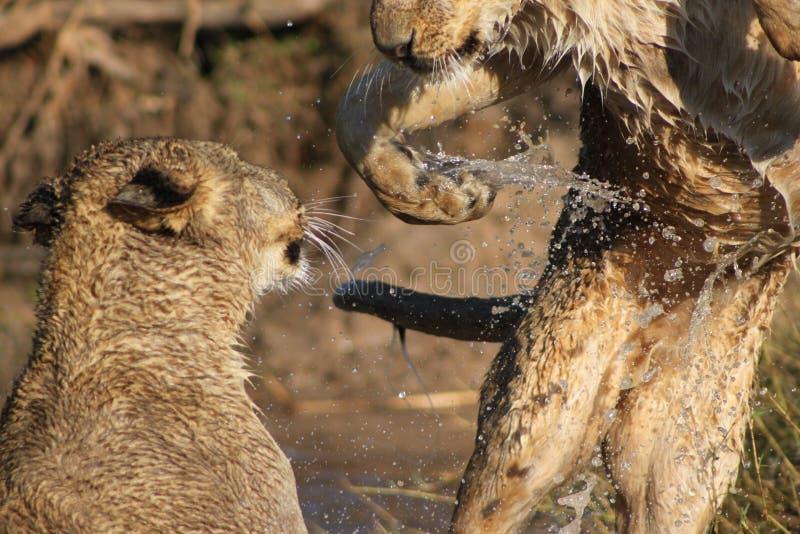 Animaux de lion jouant dans l'eau image stock