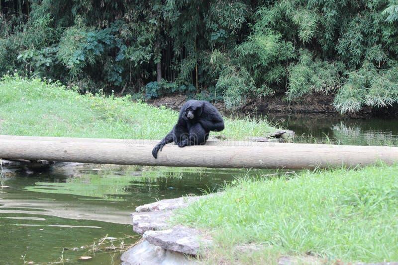 Animaux de zoo de Little Rock - Siamang 3 photographie stock libre de droits