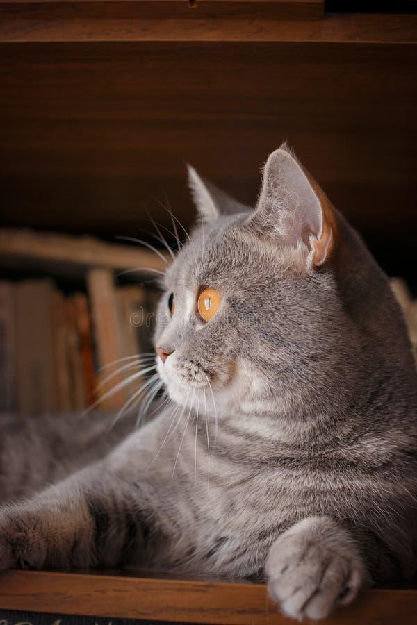 Animaux familiers : le chat joue sur l'étagère avec des livres images stock