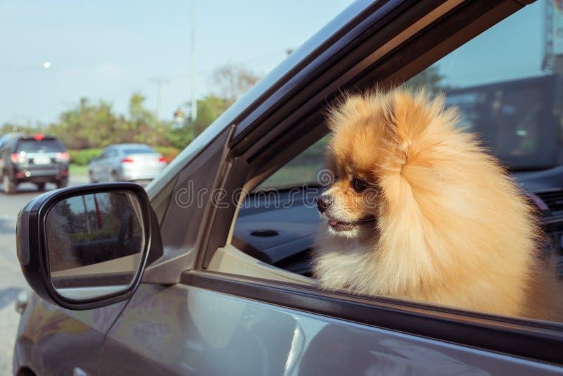 Animaux familiers mignons de chien de Pomeranian dans la voiture image stock