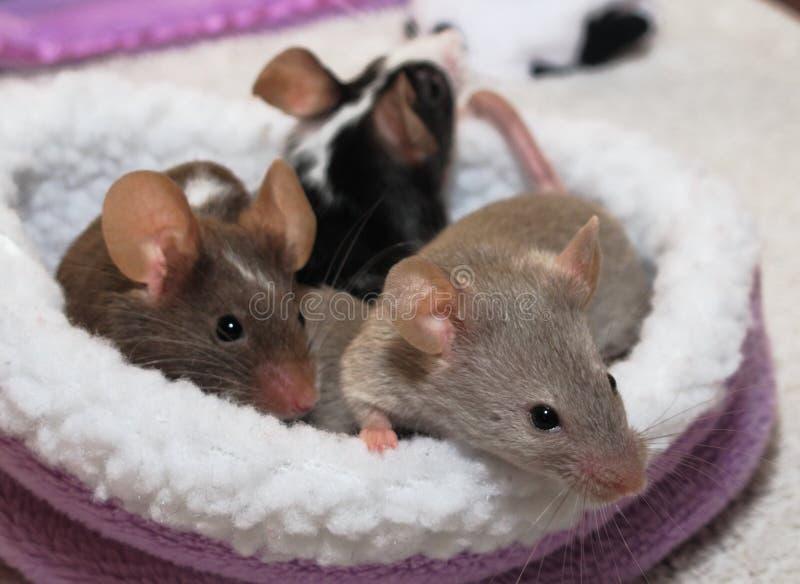 Animaux familiers - souris photo libre de droits