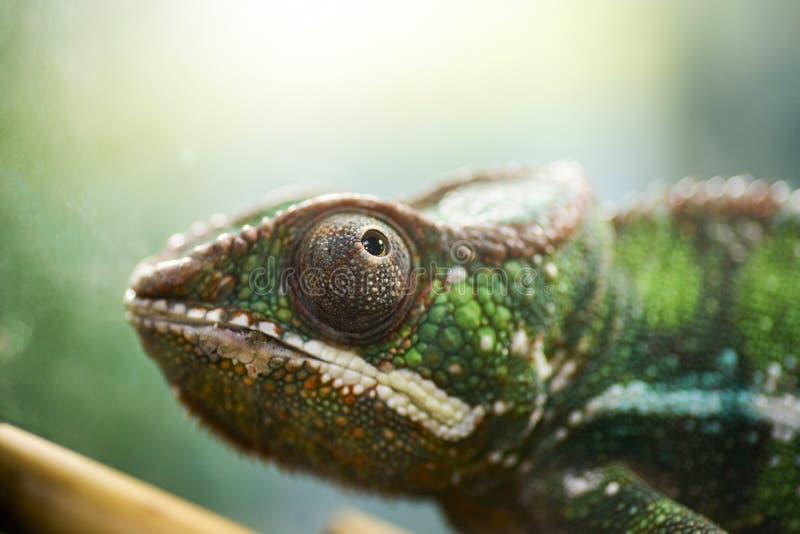animaux Jeune caméléon vert Caméléon recherchant, portrait en gros plan photographie stock