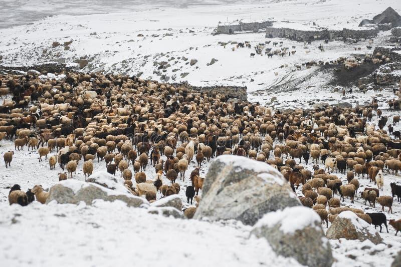 Animaux retournant du pâturage dans les secteurs de hautes montagnes de Karakoram images libres de droits