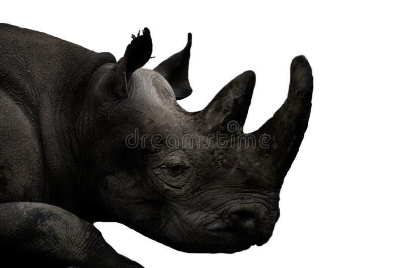 Animaux - rhinocéros (simum de Ceratotherium) images stock