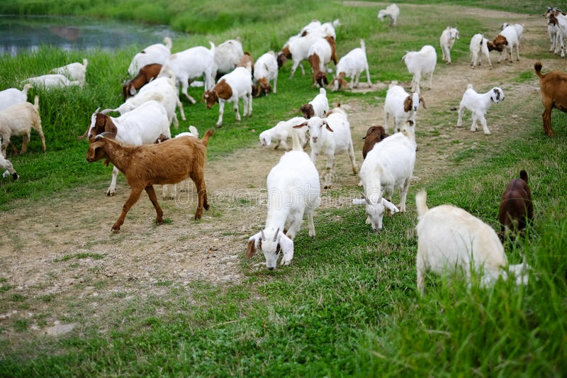 Animaux : s'érafler des troupeaux images libres de droits