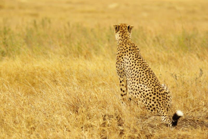 Animaux sauvages de l'Afrique : Guépard image stock